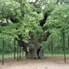 Sherwood Forest, Nottingham. Ancient tree with supports