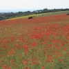 Poppy fields, Lancing, West Sussex