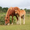 Mother and foal, in the New Forest, Hampshire
