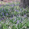 Bluebell time at Wendover Woods, Nr Aylesbury, Bucks
