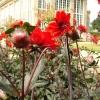 Dahlias and the Orangery at Belton House, nr. Grantham, Lincolnshire