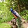 Peacock at The Swiss Garden, Old Warden, Bedfordshire - June 2006