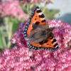 Tortoiseshell butterfly on a summers day