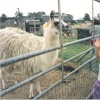 White Post Farm Park, Close to Farnsfield, Notts.  - Feeding the Llamas in 1990