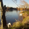 Swans on the lake at Roath Park in Cardiff, on a sunny day early in 2003.
