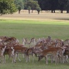Deer at Holkham Hall, Holkham, Norfolk