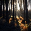 Sunlight through the trees, Cannock chase, Staffordshire