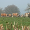 cows being nosey, on the Somerset/Devon border
