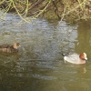 A pair of Wigeons at Slimbridge Wildfowl & Wetlands Trust.
