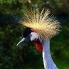 Crested Crane at Martin Mere WWT, Burscough, Lancashire