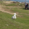 Seagulls at Portland Bill