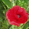 Wild Poppy in Axminster, Devon