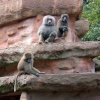 Baboons at Paignton Zoo, Devon