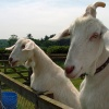 Goats at Fritton Lake Country Park, Gorleston-on-Sea, Norfolk