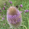 This wildflower is the Teasel which the bees love, Goole, East Riding of Yorkshire