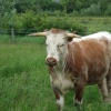 English Longhorn at Wanlip Meadows, Leicestershire