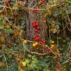 Berries, near Offa's ditch, Middleton Stoney, Oxon.