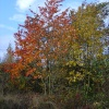 Brodsworth Community Woodland autumn colours, South Yorkshire