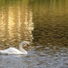Swan, Clumber Country Park, Worksop, Nottinghamshire