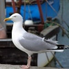 Herring Gull at West Bay, Dorset