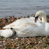 Swan at Mudeford, Dorset