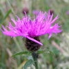 Knapweed at Dartmoor National Park, Devon