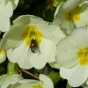 Fly on a flower, Waddesdon, Buckinghamshire