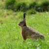 Hare sitting very still !!