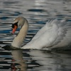 Lone Swan at Oulton Broad, Suffolk