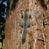 Grey Squirrel, Nidd Hall, Yorkshire.