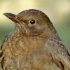 Hen blackbird.... turdus merula, South Cave, East Riding of Yorkshire
