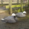 Emperor Geese, Wildfowl & Wetlands Trust, Slimbridge, Gloucestershire