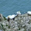Gannets....morus bassanus,  Bempton, East Riding of Yorkshire