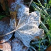 Leaves in the frost.
