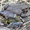 Common frog....rana temporaria and common toad....bufo bufo