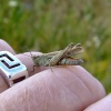 Stripe-winged grasshopper....stenobothrus lineatus
