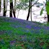 Bluebells on the shore of Windermere.