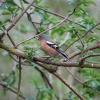 Chaffinch at Egleton Nature Reserve