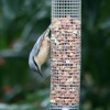 Nuthatch, the other way up. For POE.
