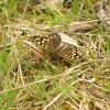 Speckled Wood butterfly, near Mursley, Bucks