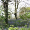 Bluebells growing in woodland overlooking Plymouth Sound, Mount Edgcumbe country park