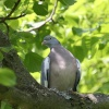 Wood Pigeon, Marcham, Oxfordshire