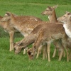 Deer at Charlecote Park