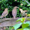 Songthrush family....turdus philomelos