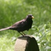 Friendly little Blackbird