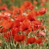 Poppies in a field, Abbots Langley, near Watford, Herts.