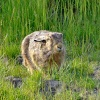 Brown hare....lepus capensis