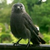Jackdaw at Ambleside.