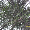 Monkey Puzzle Tree at Wrest Park