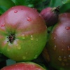 Apples in the garden at Moseley Old Hall